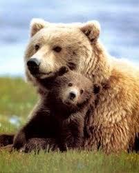 Mamma orsa muore per salvare il suo cucciolo - Paperblog